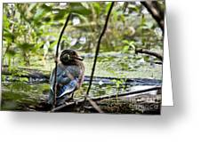 Young Wood Duck Greeting Card