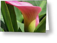Zantedeschia Named Majestic Red Greeting Card