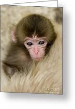 Baby Snow Monkey, Japan Greeting Card
