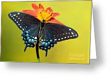 Eastern Black Swallowtail Butterfly Greeting Card