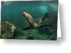 Galapagos Sea Lion (zalophus Wollebaeki Greeting Card
