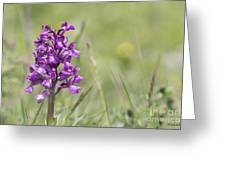 Green-winged Orchid Greeting Card
