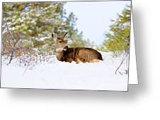 Mule Deer In Snow Greeting Card