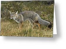 Patagonia Grey Fox Greeting Card