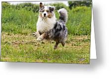 Australian Shepherd Dog Greeting Card