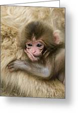 Baby Snow Monkey, Japan Greeting Card