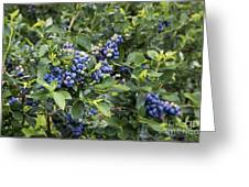 Blueberry Bush Greeting Card