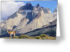 Guanaco (lama Guanicoe Greeting Card