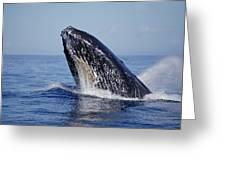 Humpback Whale Breaching Maui Hawaii Greeting Card