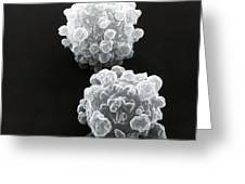 Lymphocytes Undergoing Apoptosis, Sem Greeting Card by David M. Phillips