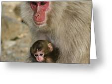 Snow Monkeys, Japan Greeting Card