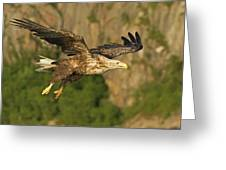 White-tailed Sea Eagle In Norway Greeting Card