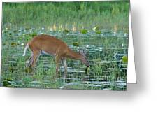 White-tailed Buck Greeting Card by Linda Freshwaters Arndt