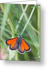 12 Balkan Copper Butterfly Greeting Card