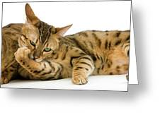 Bengal Brown Spotted Tabby Greeting Card