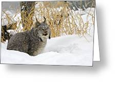 Canadian Lynx Greeting Card