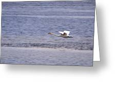 Whooper Swan Greeting Card