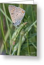 13 Balkan Copper Butterfly Greeting Card