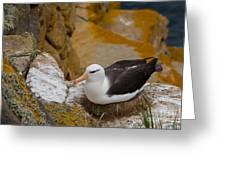 Black-browed Albatross Greeting Card