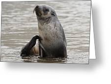 Antarctic Fur Seal Greeting Card