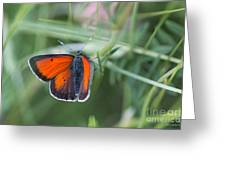 14 Balkan Copper Butterfly Greeting Card