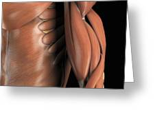 The Muscle System Greeting Card