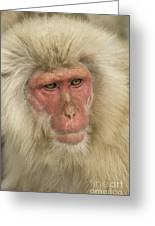 Snow Monkey, Japan Greeting Card