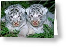 Tigre Blanc Panthera Tigris Greeting Card