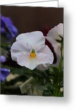 Viola Tricolor Heartsease Greeting Card