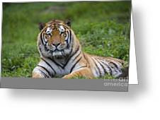 Siberian Tiger, China Greeting Card