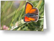 17 Balkan Copper Butterfly Greeting Card