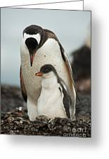 Gentoo Penguin With Young Greeting Card