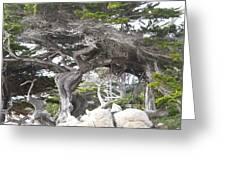 17 Mile Drive Tree Greeting Card