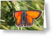 18 Balkan Copper Butterfly Greeting Card