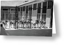 1930s Kennel Yard Full Of Foxhound Dogs Greeting Card
