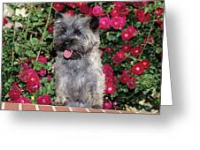 1990s Cairn Terrier Dog Standing Greeting Card
