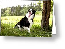 Border Collie In The Nature Greeting Card
