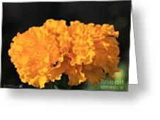 African Marigold Named Crackerjack Gold Greeting Card