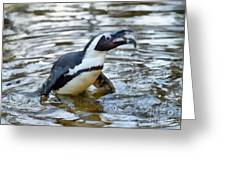 African Penguin Eating Fish Greeting Card