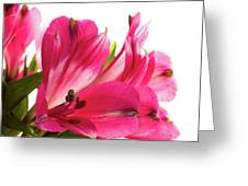Alstroemeria Flowers Against White Greeting Card