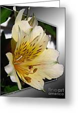 Alstroemeria Named Marilene Staprilene Greeting Card