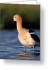 American Avocet Bird Portrait Greeting Card