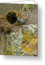 American Dipper And Nest   #1487 Greeting Card