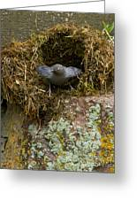 American Dipper And Nest   #1538 Greeting Card