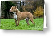 American Staffordshire Terrier Greeting Card