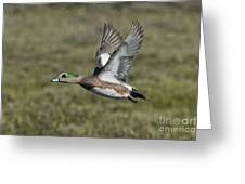 American Wigeon Drake Greeting Card