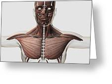 Anatomy Of Male Muscular System, Side Greeting Card