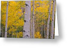 Aspen Trees In A Forest, Telluride, San Greeting Card