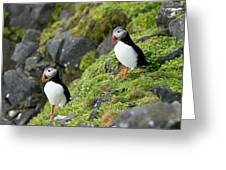 Atlantic Puffin, Fratercula Arctica Greeting Card