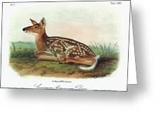 Audubon Deer Greeting Card